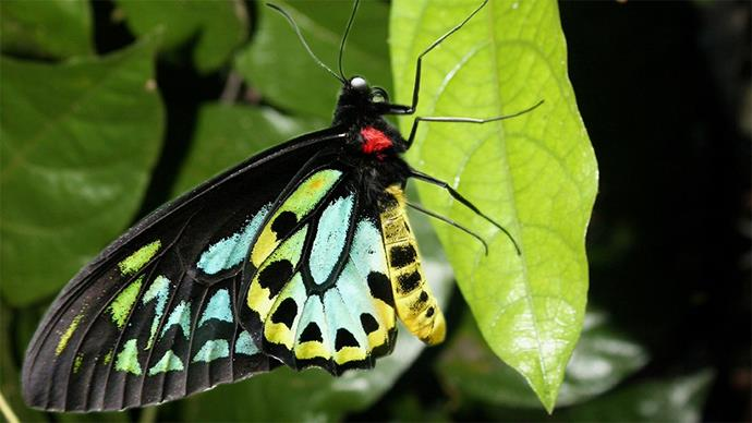 The Richmond birdwing butterfly is a threatened species that thrives in the Mary Cairncross Scenic Reserve. Photo by Ray Seddon.